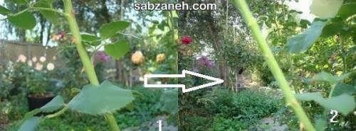افزایش گل رز به روش های مختلف