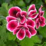 پرورش گل شمعدانی