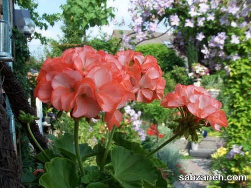 گل شمعدانی بهار هلویی