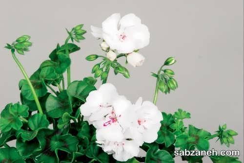 گل شمعدانی سفید و پرورش آن