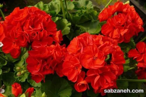 گل های شمعدانی زیبا