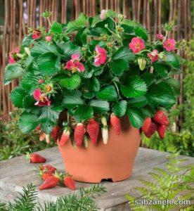 کاشت توت فرنگی در گلدان