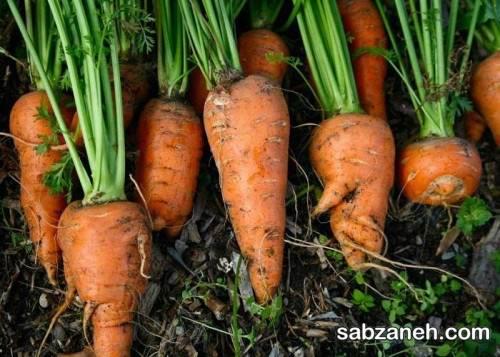 کاشت هویج در منزل در گلدان