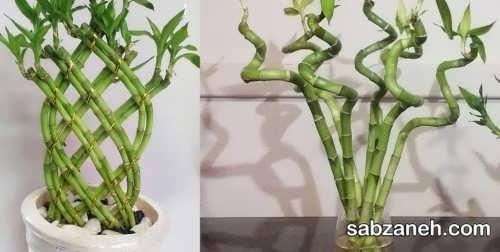 بیماری های گیاه بامبو و راه های درمان آن