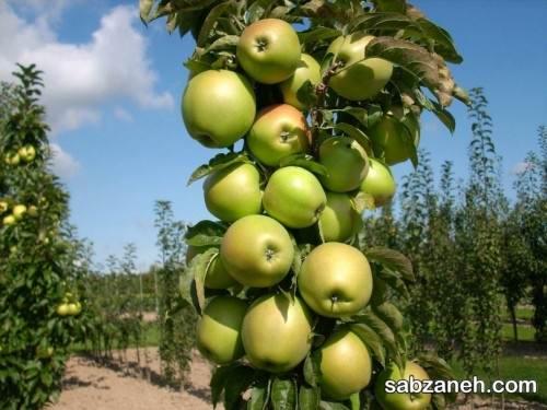 نکات هرس درخت سیب