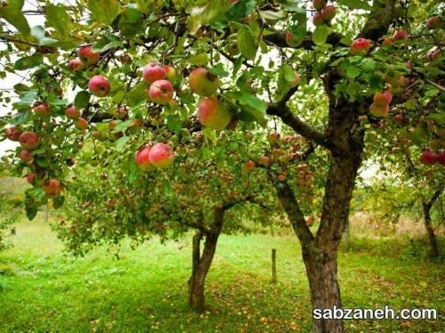 درخت سیب و نکاتی که در مورد هرس آن باید بدانید