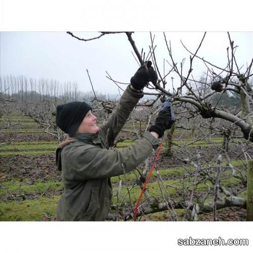 آموزش هرس درخت سیب