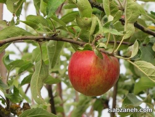 دانستنی های مهم در رابطه با هرس درخت سیب