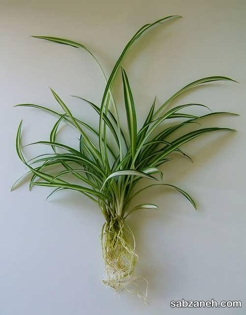 دانستنی های مهم از پرورش گل گندمی