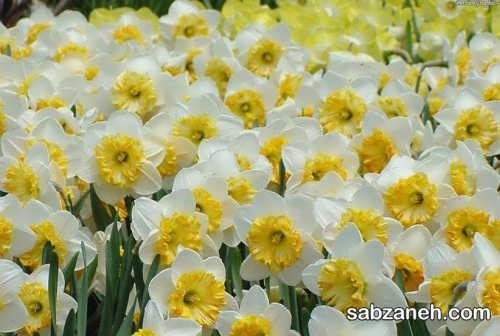 کاشت و پرورش گل نرگس
