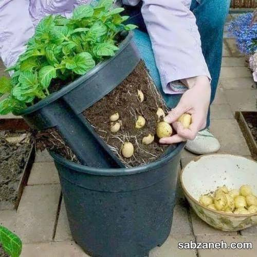 نکات مهم در رابطه با کاشت سیب زمینی