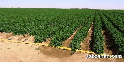 دانستنی های جامع و مهم در مورد کاشت و برداشت سیب زمینی