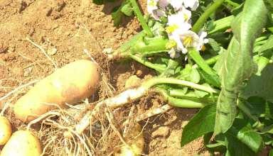 آموزش کاشت سیب زمینی