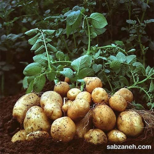 آموزش کاشت سیب زمینی در گلدان