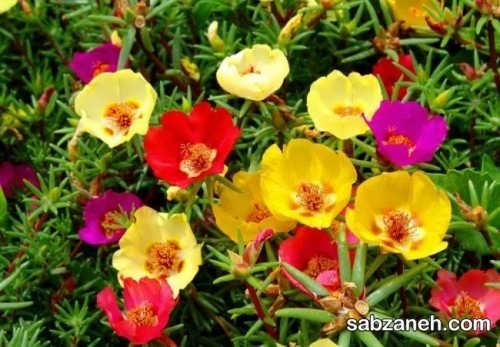 پرورش، تکثیر و نگهداری گل ناز آفتابی