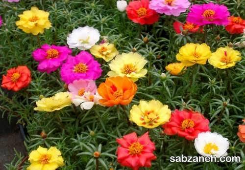 روش تکثیر گل ناز با بذر
