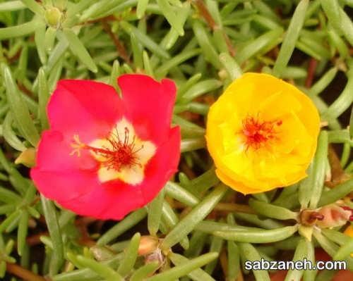 شرایط اکولوژیک لازم برای رشد و پرورش گل ناز