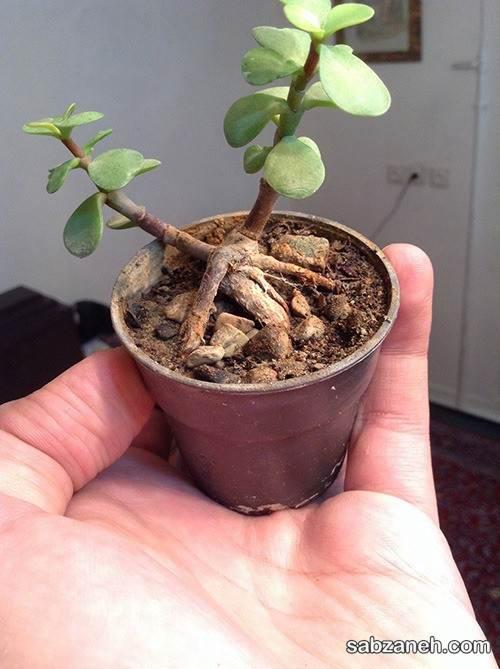 روش قلمه زدن گل کراسولا