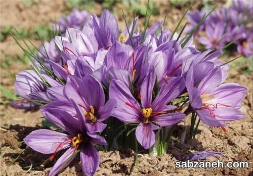 هر آنچه لازم است از کاشت زعفران بدانید
