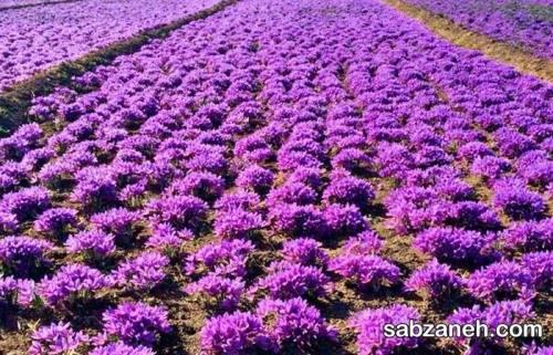 زمین و خاک مناسب برای کاشت زعفران