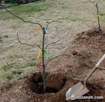 کاشت درخت بادام