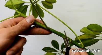 پرورش گل قاشقی