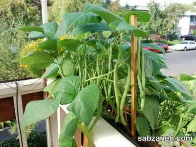 پرورش لوبیا در گلدان