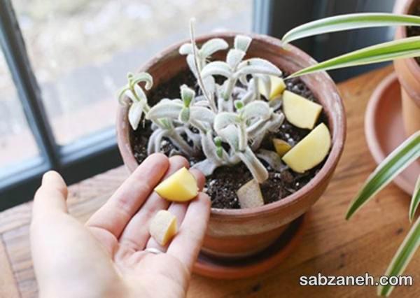 از بین بردن پشه گلدانی