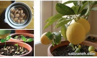 کاشت درخت لیمو