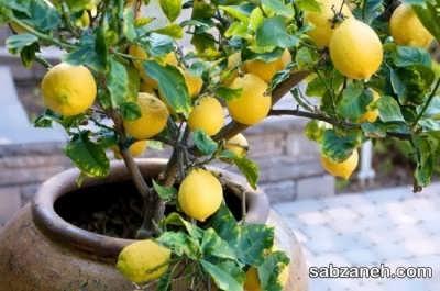 تکثیر لیمو در گلدان