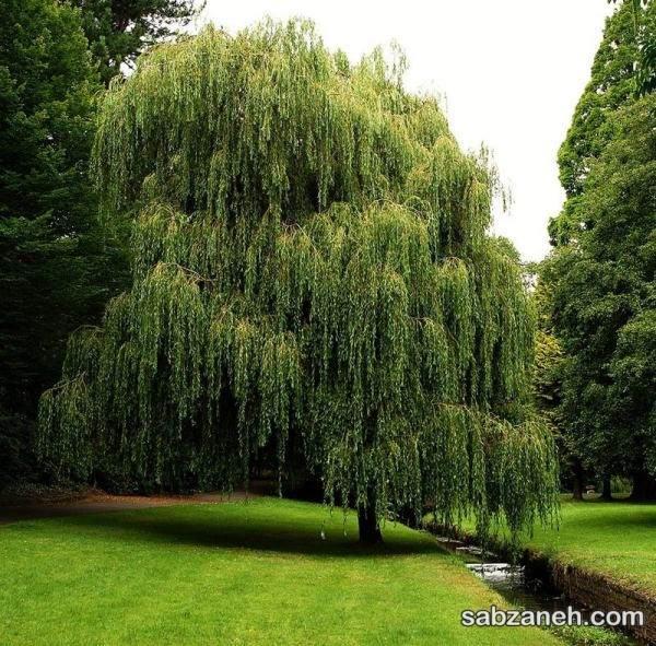 درخت زیبای بید مجنون