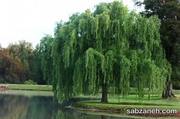 درخت بید مجنون در محوطه