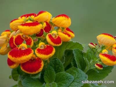 پرورش گل گوشواره ای