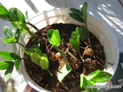 مراحل پرورش گیاه زی زی