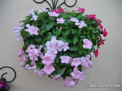 کاشت گل پریوش