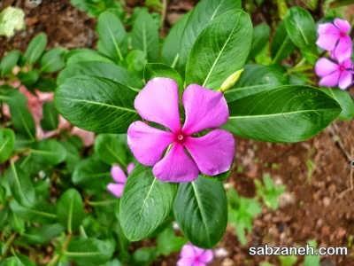 کاشت گل پروانش