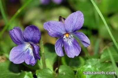 گل بنفشه معطر