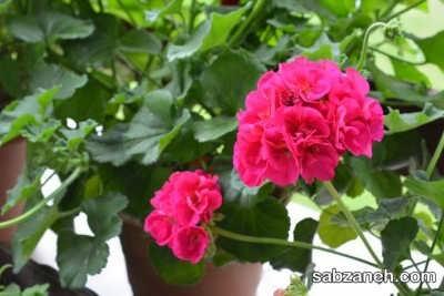 گل شمعدانی مناسب برای پرورش در بالکن