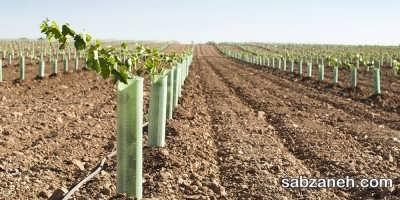 شیارهای آماده شده برای کشت درخت انگور