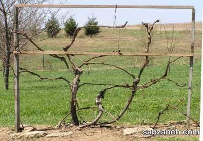 هرس درخت انگور