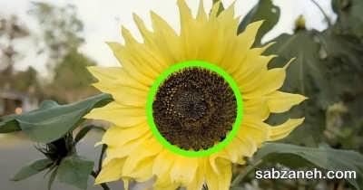زمان برداشت گل آفتابگردان