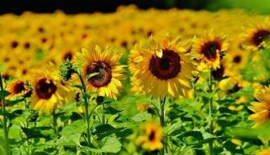 کاشت گل آفتابگردان