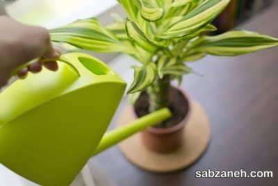 آبیاری گیاه دراسنا