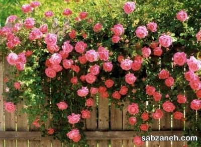 کاشت گل رز رونده