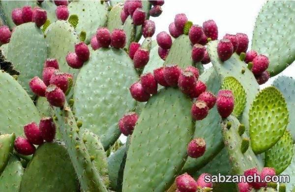 کاکتوس اپونتیا با میوه های خوراکی