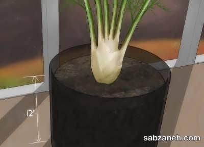 کاشت رازیانه در گلدان