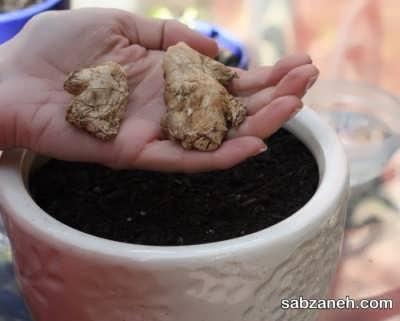 پرورش زنجبیل در گلدان