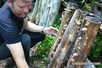 کشت سنتی قارچ شیتاکه