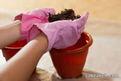 آماده کردن خاک مناسب برای گل عنکبوتی