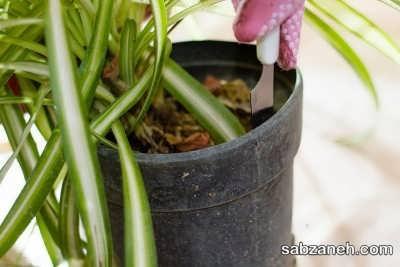 جا به جایی گلدان گل عنکبوتی